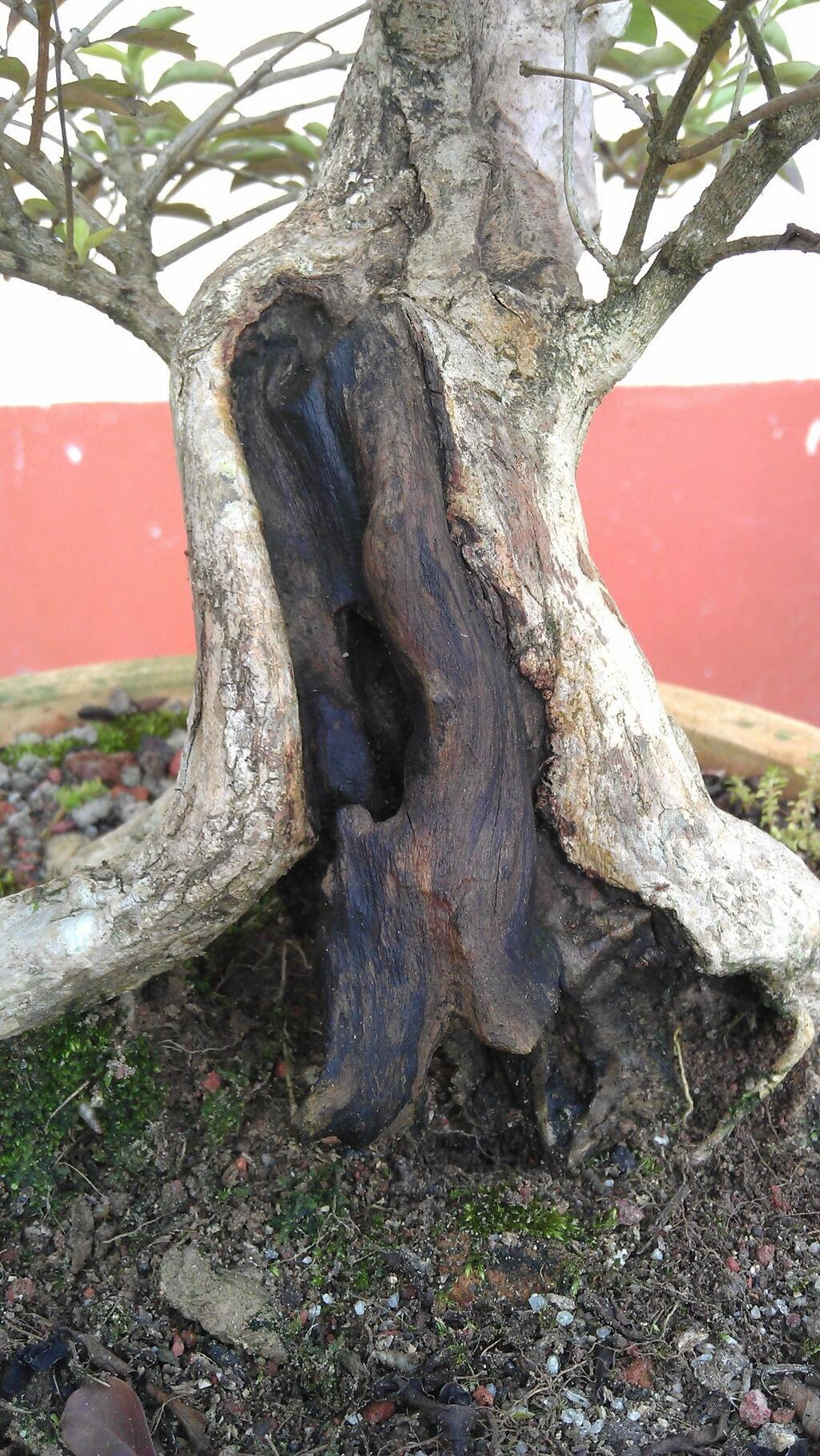 bonsai_varnished