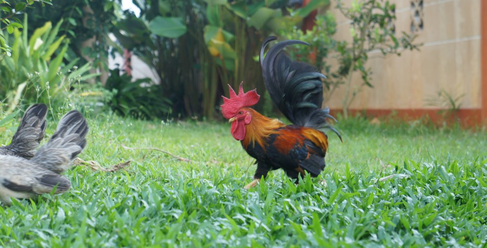 Young Jack the Rooster