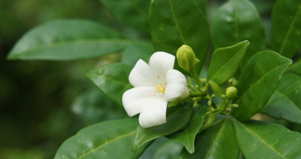 Kemuning_flower