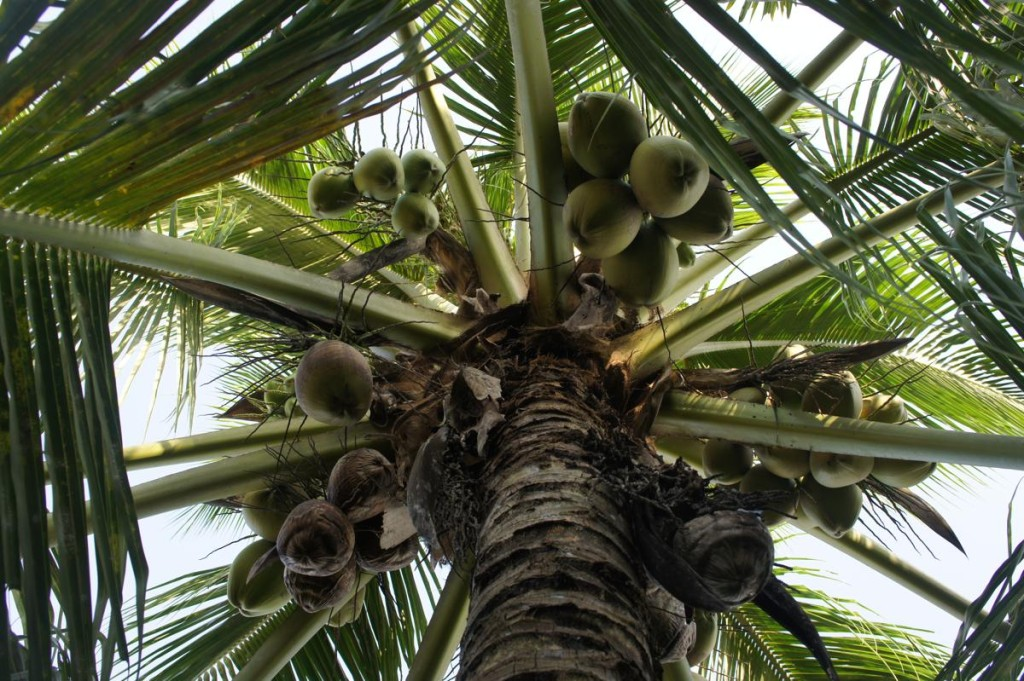 Tall Coconut