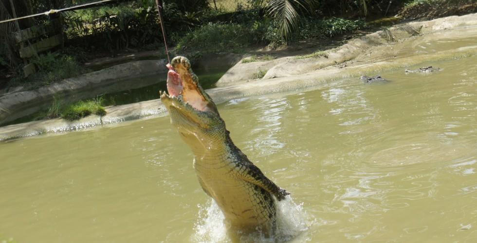 Crocodilio